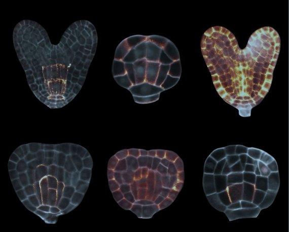 Plantenembryo's onder de microscoop: de oplichtende stukken zijn de soseki-eiwitten. Foto: WUR Biochemie.