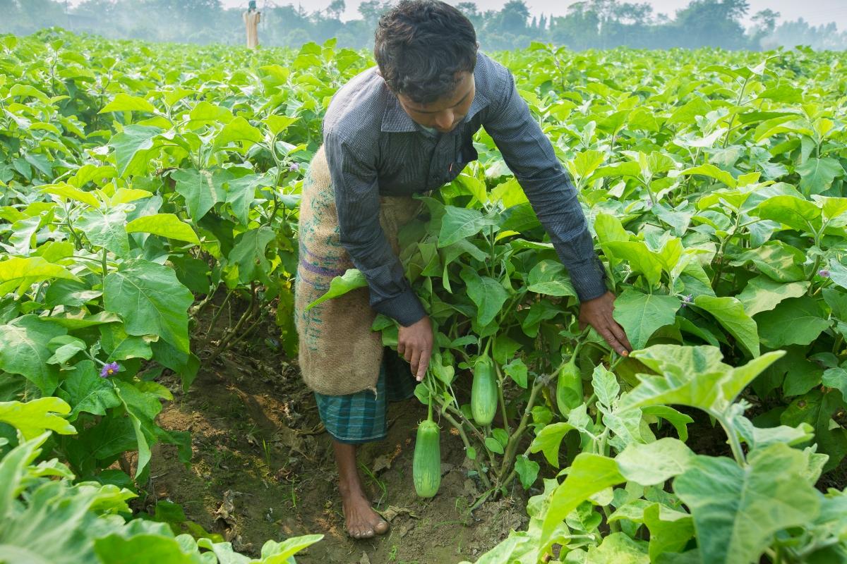 Waarom biologische plaagbestrijding in Bangladesh (mis)lukt