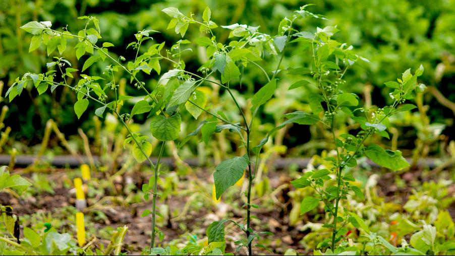 Gmo biedt sterke afweer tegen aardappelziekte
