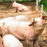 Vrolijke varkens in een stal