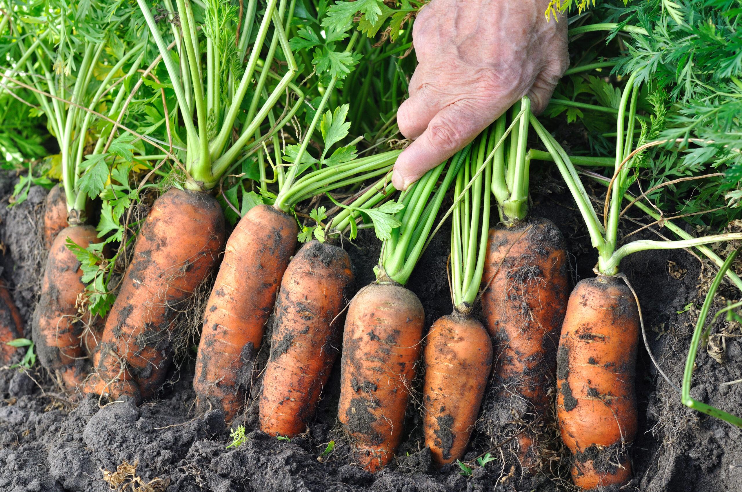 wortels in de grond