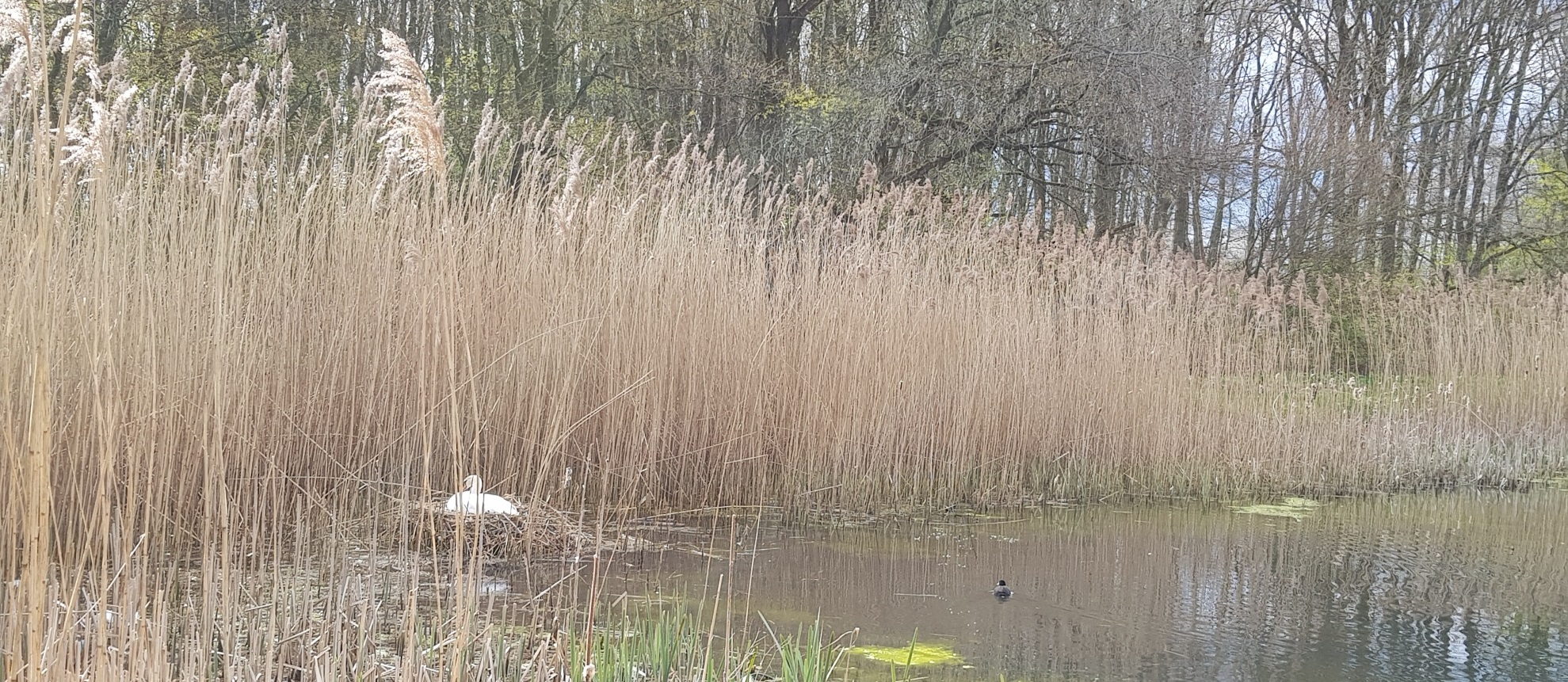 Swans colonise the campus