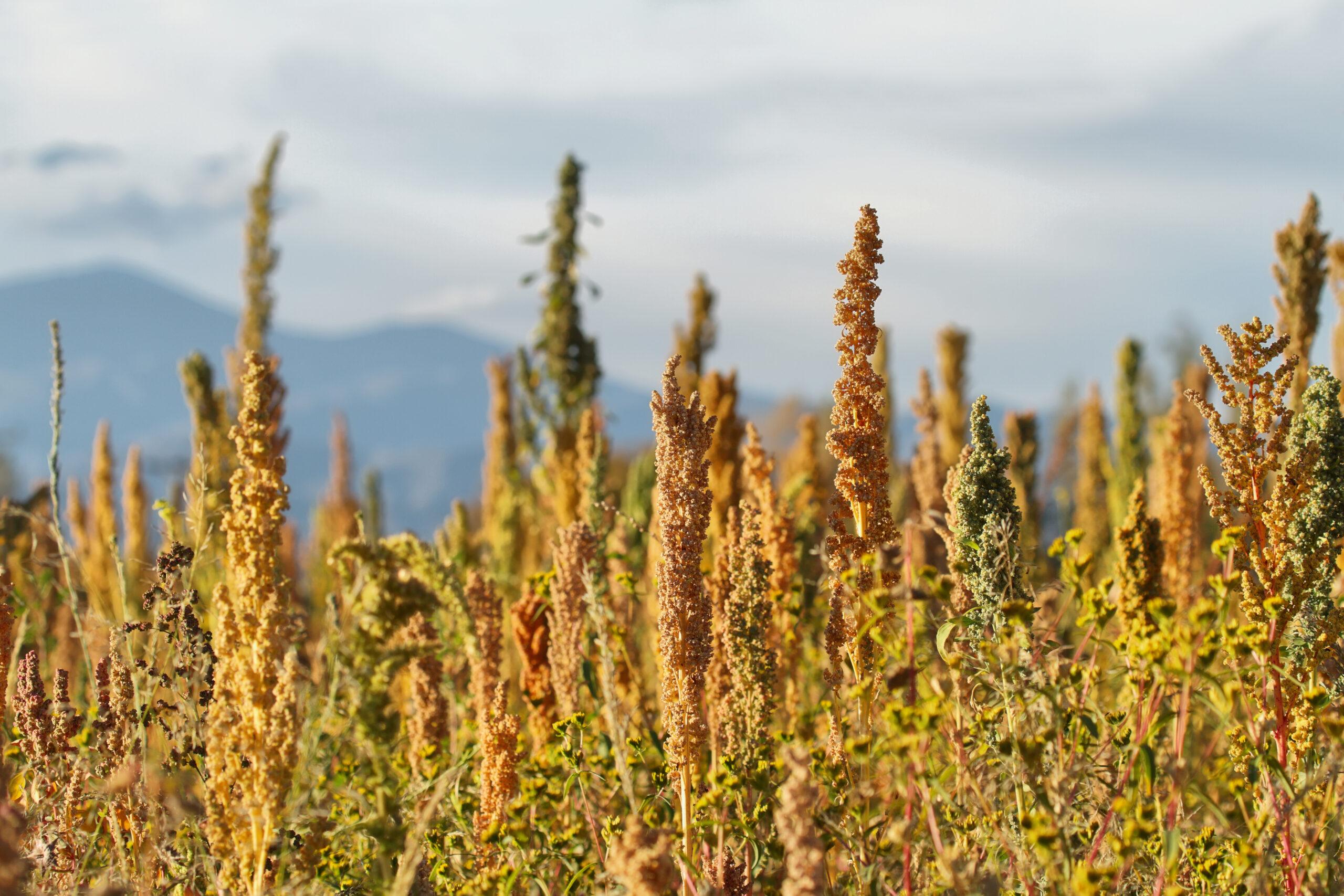Zoutstress verdeelt quinoa-planten