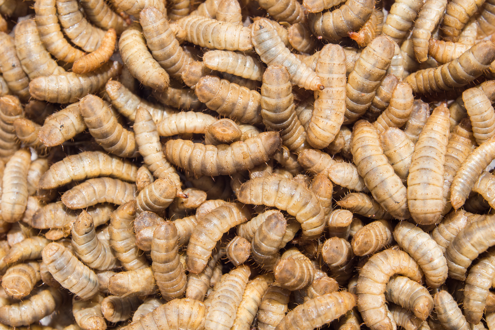 Insect larvae are just as healthy as soya in animal feed